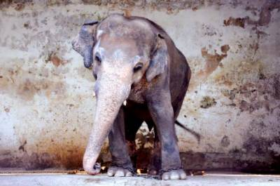 """""""Kaavan"""" to be looked after by International Wildlife organization"""