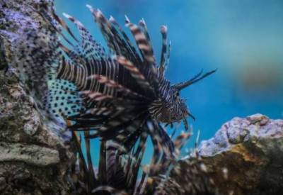 Mediterranean Sea: Poisonous lionfish may kill humans, warn IUCN