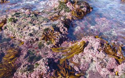 Seaweeds : Astonishing uses in human life