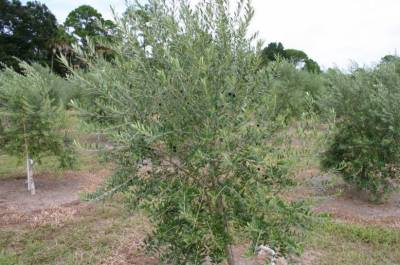 Olive Cultivation in Pakistan: Measures to improve the yield