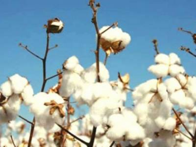 Cotton crop decline in Pakistan