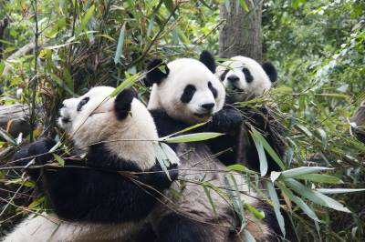 Giant Panda no more an endangered specie in China: IUCN