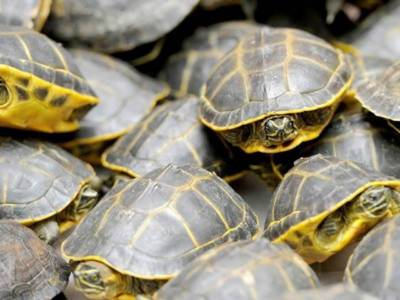 PM takes strict notice of turtles smuggling case in Karachi