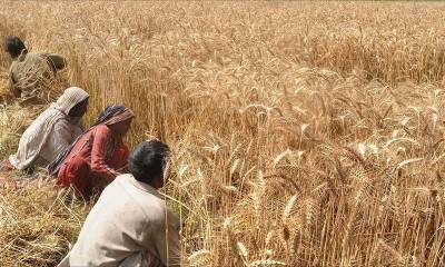 Wheat support price announced by ECC