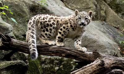 Snow leopard conservation in Pakistan