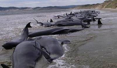 200 Whales stranded along the coast of New Zealand