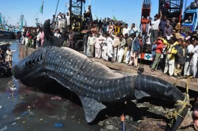 Huge Blind Shark caught at Karachi Sea coast