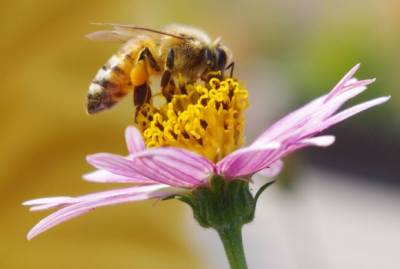 Honey bees have better eyesight than thought: Study