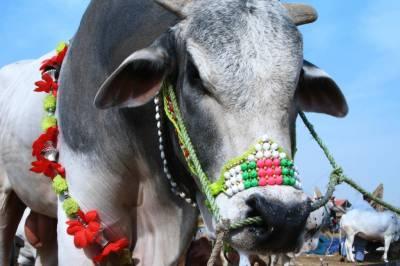 Pakistanis spent Rs 26 billion on 8 million animals on Eid ul Azha