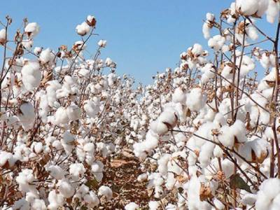 Pakistani scientists develop new innovative cotton seed