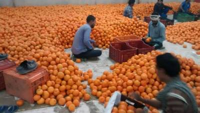 Russia emerging as big market for Pakistani kinnow exports