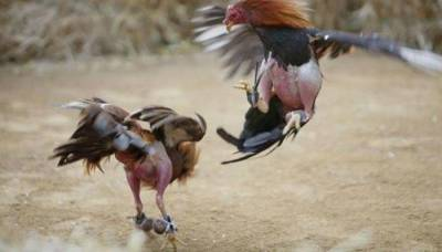 British-Pakistani cockfighting gang found guilty of animal cruelty