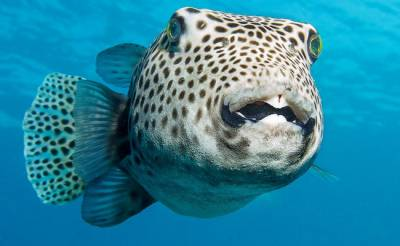 Deadly fugu fish flub prompts Japan emergency warning