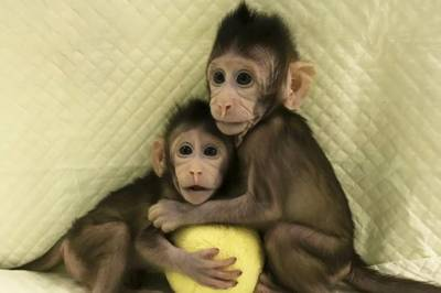 Chinese scientists successful in cloning monkeys, Are humans the next target