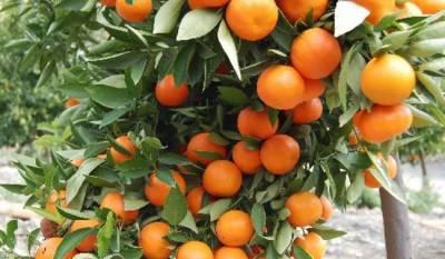 Pakistan to grow seedless kinnow