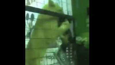 VIDEO: Lion attacks a young Saudi girl