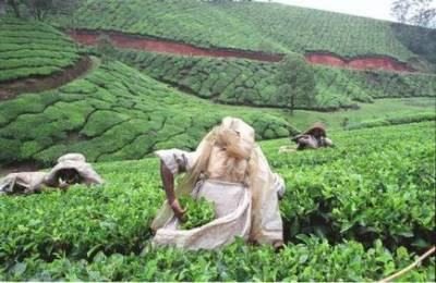 Pakistan tea imports from India rise by 45%