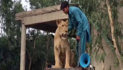PML-N supporter walks lion around NA-127 to campaign for Maryam Nawaz