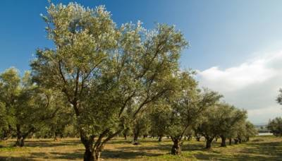 Olive Valley: Punjab government offers free saplings