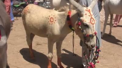 Asia'a biggest donkey market held in Pakistan