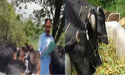 Auctioning of eight buffaloes underway at PM House