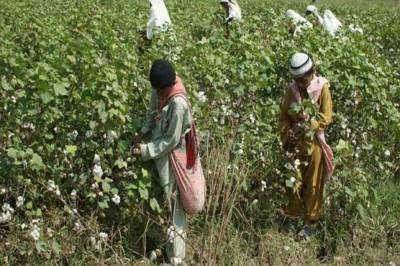 FBR decide to impose tax on Cotton seeds