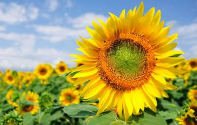 PTI government announces big subsidy for sunflower farmers