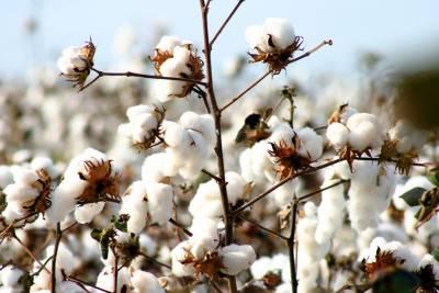 Pakistani cotton demand increasing in international markets