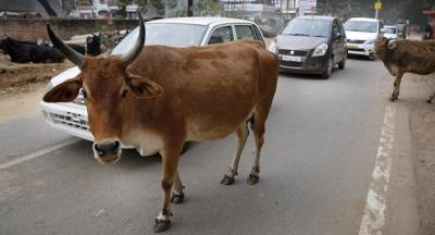 Frustrated Indian man Rapes five mother cows at a cattle shelter