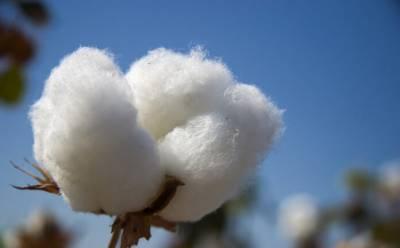 -Pakistan Pakistan faces massive reduction in cotton production