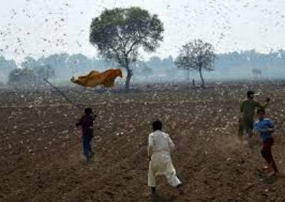 Pakistan needs $372mn to recover from locust damage: UN