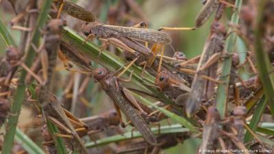 Anti-locust operation completed over 2.69 million acres: NLCC