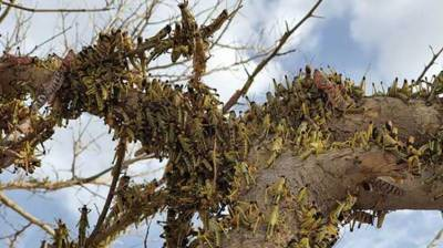 Emergency locust project to be set up with World Bank assistance