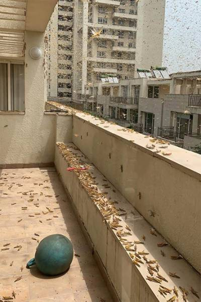 Swarm Of Locusts Reaches Gurugram, But Will They Enter Delhi?