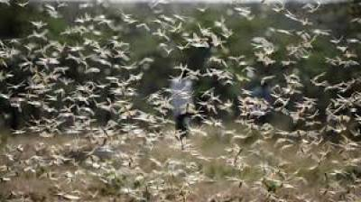 Anti-locust operation completed over 2.606 million acres : NLCC