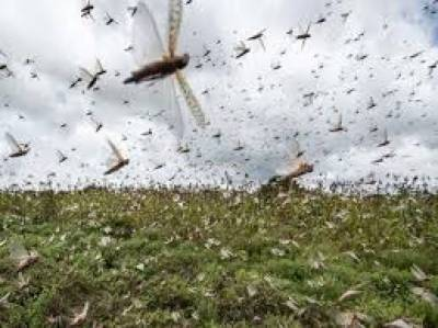 Anti-locust operation completed over 2.614 million acres: NLCC July 11, 2020
