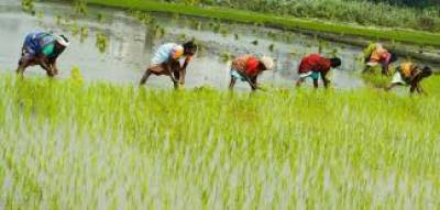 Rice to be grown over 2,957 thousand hectares july 13, 2020