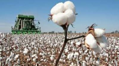 Cotton cultivated over 2.457 mln hectares, sowing decreases 1.3 %, july 14, 2020