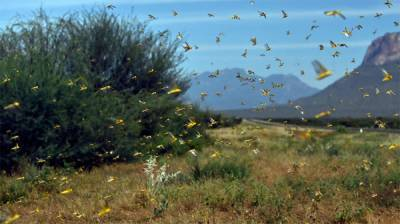 Locust swarms spread reduced from 61 to 2 districts August 10, 2020