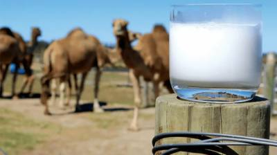 China's milk market has great potential for Pakistan's camel milk: Prof. Cheng Xizhong August 12, 2020